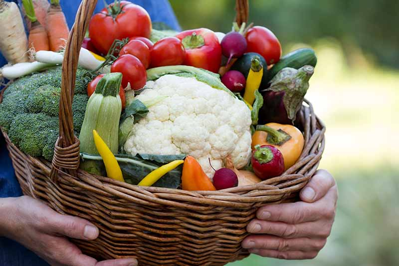A close up photo of two hands holding a large wicker basket full of freshly harvested vegetables. A white head of cauliflower in the center, surrounded by red and yellow tomatoes and peppers, and various greens. The background is soft focus green.