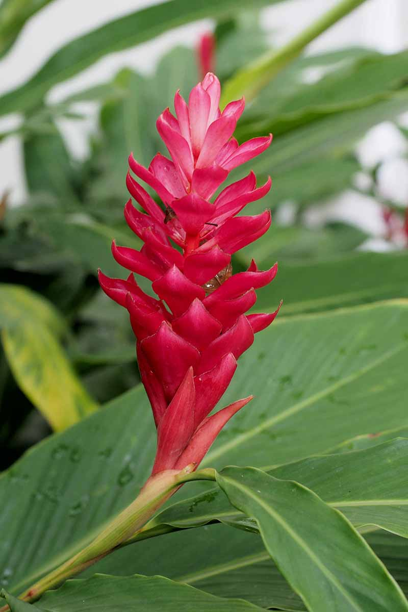 A vertical picture of a bright vivid red Zingiber officinale flower against a background of green foliage fading to soft focus.