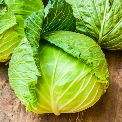 A close up of a bright green and yellow cabbage of the 'Brunswick' variety, pictured on a wooden surface.