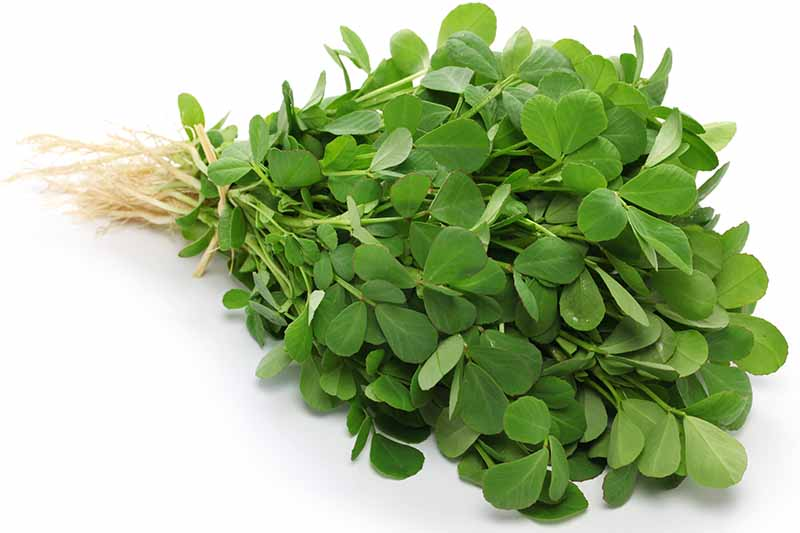 A close up of a bunch of fenugreek leaves tied at the stems with a piece of string, on a white background.