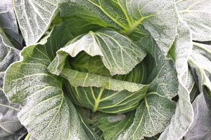Anticipating and Assessing Frost Damage in the Fall Vegetable Garden