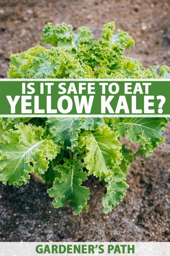 A vertical image showing a kale plant with slightly yellow edges contrasting with the green leaves. The background is soil and to the center and bottom of the frame is green and white text.