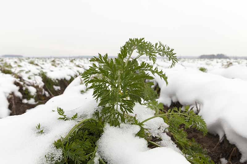 A close up of a carrot top poking through a snowy cover. The snow covers the ground around it and in the background, with a little soil visible in between the rows.