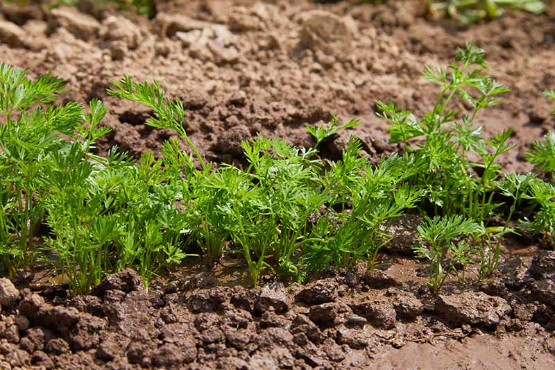 A close up of a row of carrots, pictured in bright sunshine, in the soil, with green wispy foliage. The soil is light brown and moist, the background is soft focus.