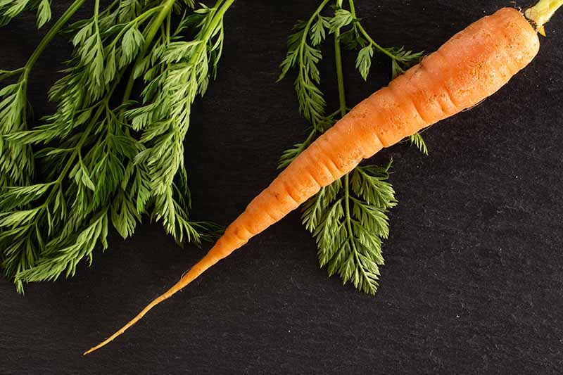 A close up of one long thin carrot on a dark background, with foliage arranged to the left of the frame. The bright orange contrasts with the background and the rich green of the leaves.