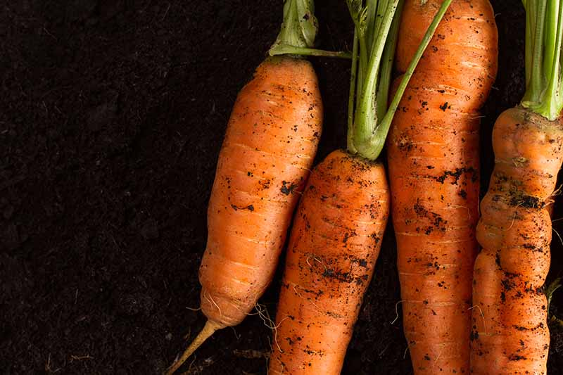 A close up of four orange carrots with soil on the root and their green tops still attached on a dark soil background.