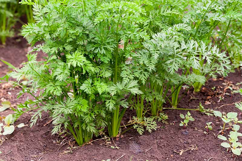 A close up of green carrot tops growing in the garden, rich earthy soil surrounding, and in between them.