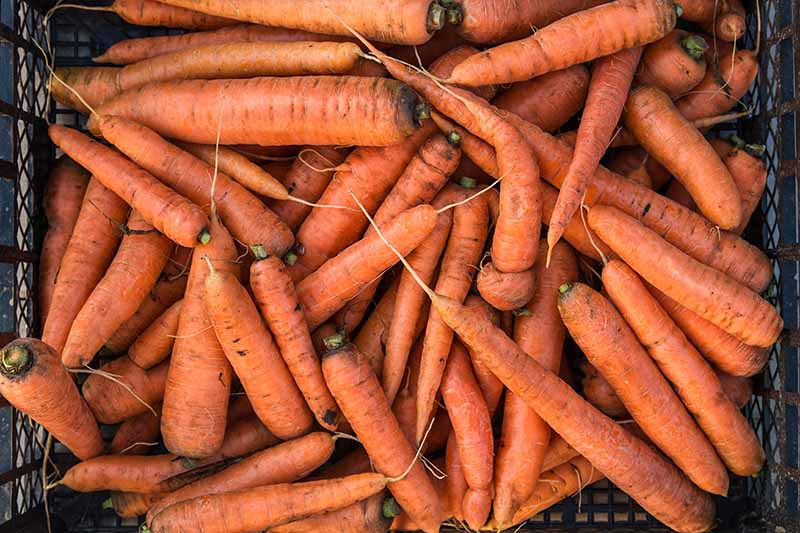 A close up picture of a brown plastic basket full of harvested bright orange carrots with their green foliage removed.