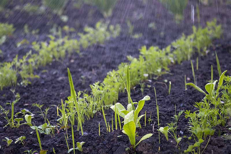 A close up of rows of carrot seedlings just sprouting through the dark, rich earthy soil, in the rain. The green of the foliage contrasts with the dark earth and the background is soft focus.