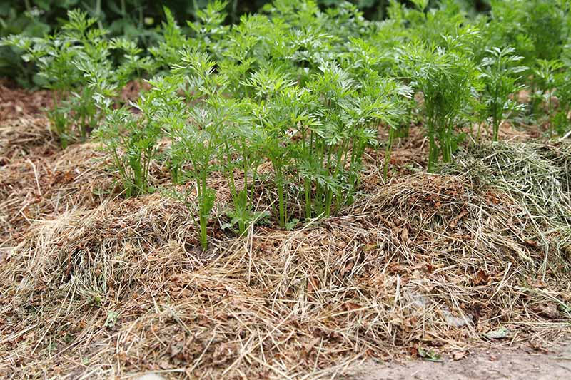 Rows of carrot tops growing in the garden, surrounded by straw mulch. The bright green of the foliage contrasts with the straw on the ground around them.