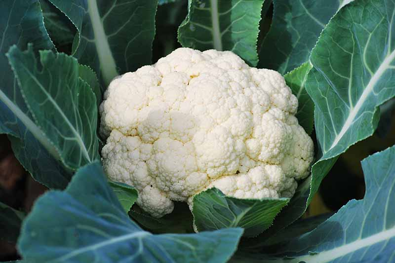 A close up of a cauliflower head, well developed and a creamy white color nestled between dark green foliage in bright sunshine.