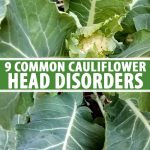 A vertical image showing a close up of a cauliflower plant with a disorder preventing the head from forming correctly. There is a tiny head in the center, surrounded by light green leaves, with darker, larger leaves in the background. To the center and bottom of the frame is green and white text.