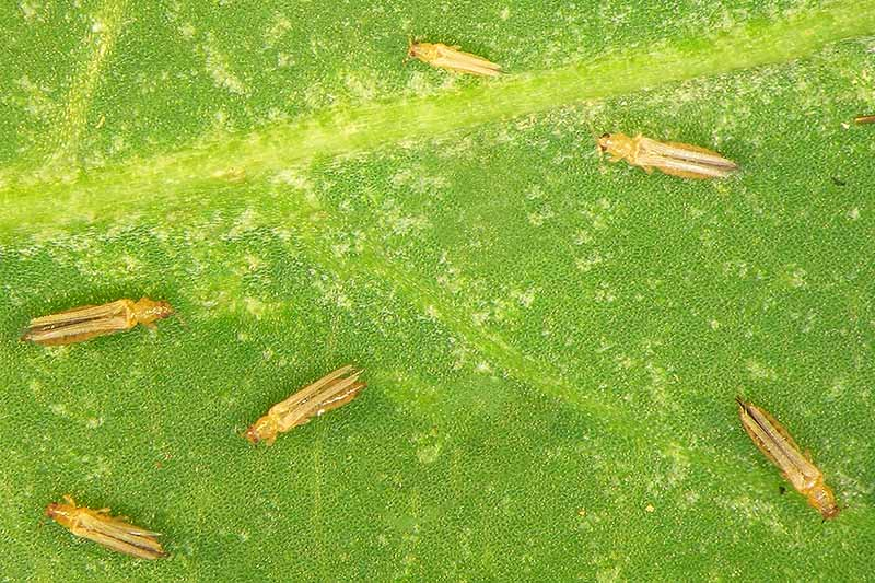 A close up of thrips, small flying insects shown on a green leaf in bright sunlight.