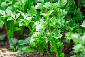 How to Grow Celery, a Marshland Plant Turned Tasty Veggie