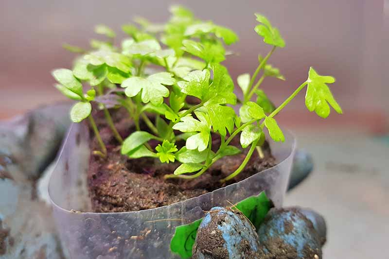 A close up of a hand with a blue glove and soil on it, holding a small seedling in a plastic container. The leaves are a bright green, in contrast to the dark brown soil. The background is in soft focus.