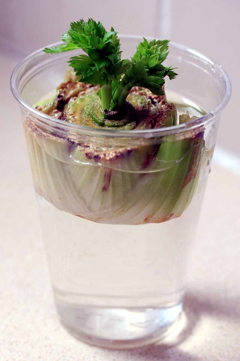 A close up of a plastic beaker containing the bottom of a celery stalk, in water, with small leaves sprouting from the top. The background is soft focus.