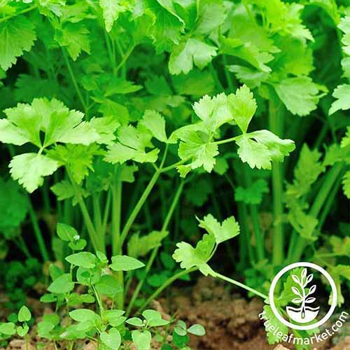 A close up of bright green Chinese celery with leaves in light sunshine, the soil can be seen between the stalks and to the right of the image is white text with a circular logo.