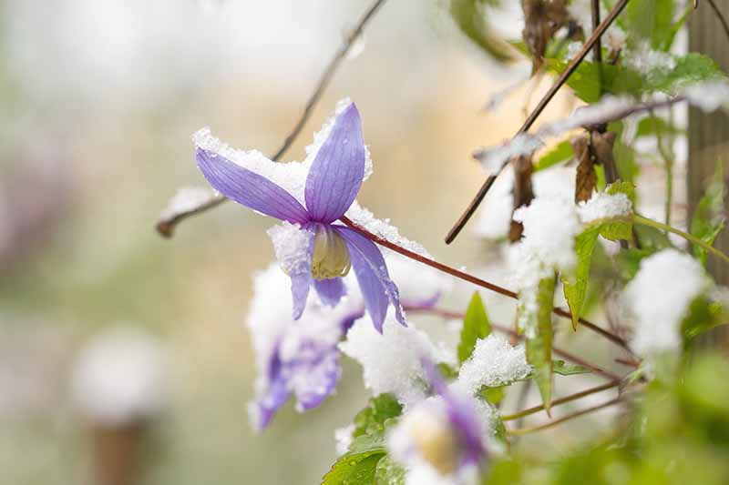 A close up of a purple clematis flower covered in frost, with green leaves to the right of the frame and the background in soft focus.