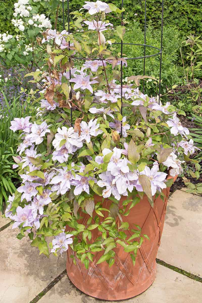 A vertical picture of a clematis plant with light purple flowers and bushy leaves in a terra cotta pot. The pot is standing on a stone patio and the background is various green vegetation.