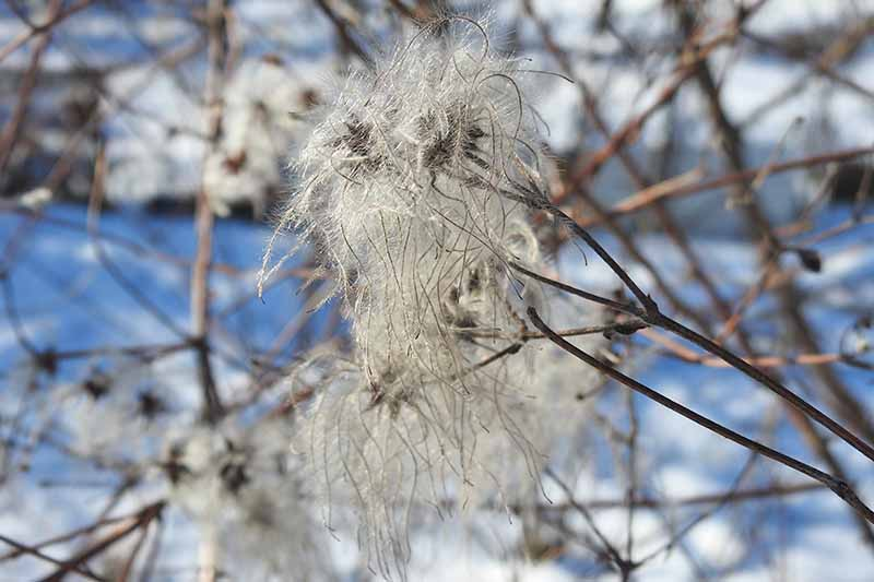 A close up of a fluffy seed head on a dark brown vine of a clematis plant in winter. The background is soft focus brown vines on a white and blue snowy backdrop.
