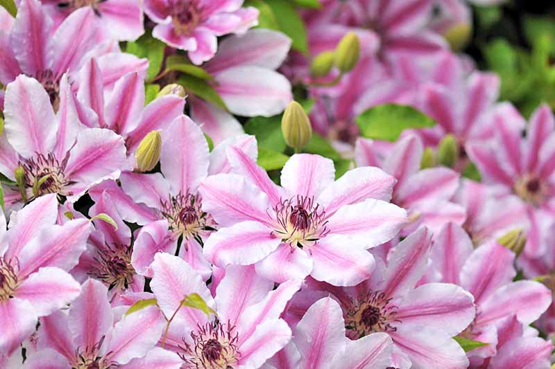 A close up of pink and white clematis flowers with deep purple centers, and yellow buds in between. The background is in soft focus, showing more flowers and green leaves.