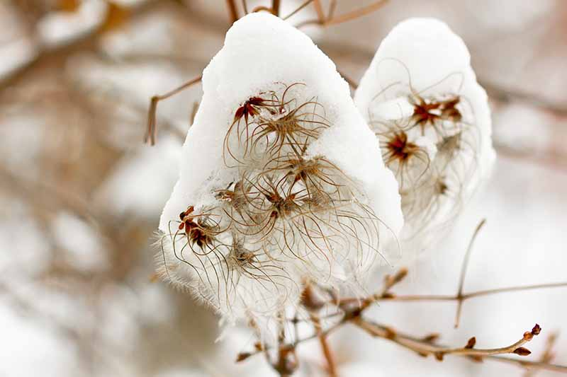 A close up of a clematis vine, its spent blooms covered in snow, the white contrasting with the brown stems. The background is soft focus snow.