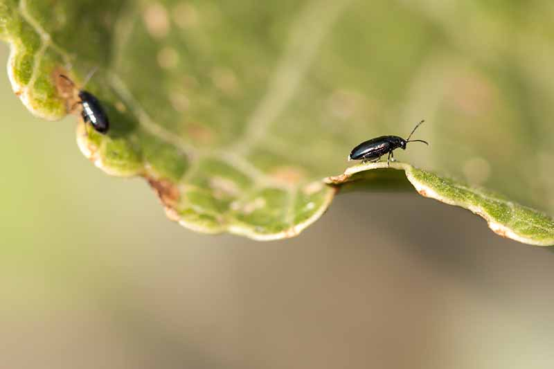 A close up of two black flea beetles on the edge of a leaf, brown areas show where they have done some damage to the plant. The background is fading to soft focus.