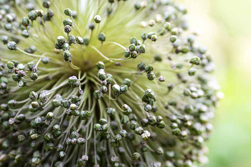 A close up of a seed head fading to soft focus green in the background.