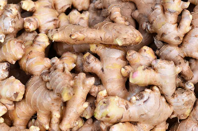 A close up picture of several ginger roots, cleaned of any soil and with their stems cut off.