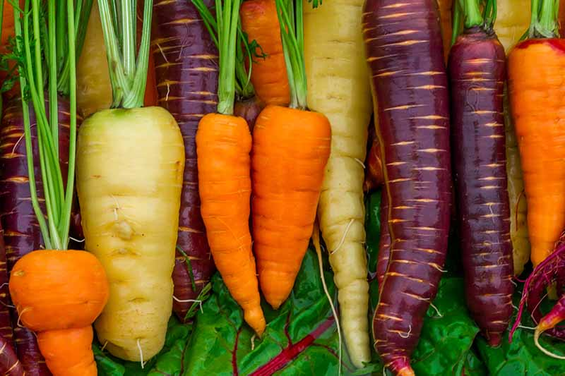A close up of freshly harvested, cleaned heirloom carrots in a variety of colors. Orange, deep purple, and milky white on a green leaf in the background. The bright green stems contrast with the vibrant colors.