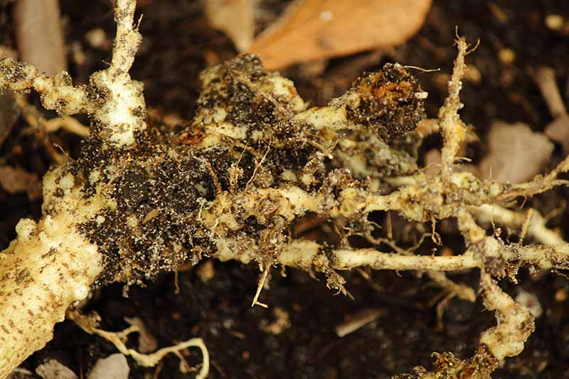 A close up of roots of a plant damaged by root knot nematodes. The tangled roots have characteristic galls and areas of blackening where they have been damaged by the pests. The background is soft focus soil.