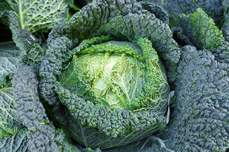 A close up, top down picture of a savoy cabbage head ready for harvest. Large crinkly outer leaves are dark green, with tighter, light green leaves surrounding the head.