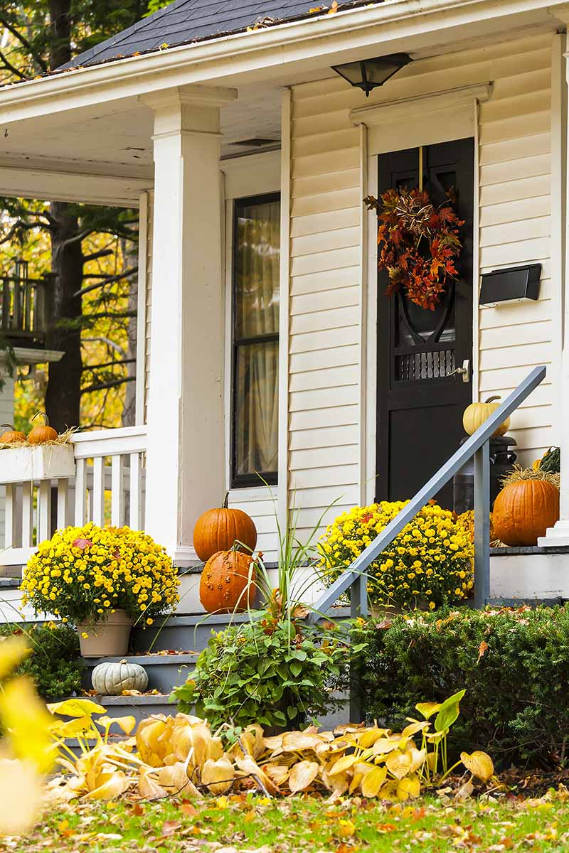 A front porch of a wooden house with white weatherboards and a black front door. An autumn wreath is on the front door, and pumpkins displayed on the steps and on the porch. A low hedge to the right of the frame with a lawn and some scattered leaves. To either side of the steps are plants with bright yellow flowers.
