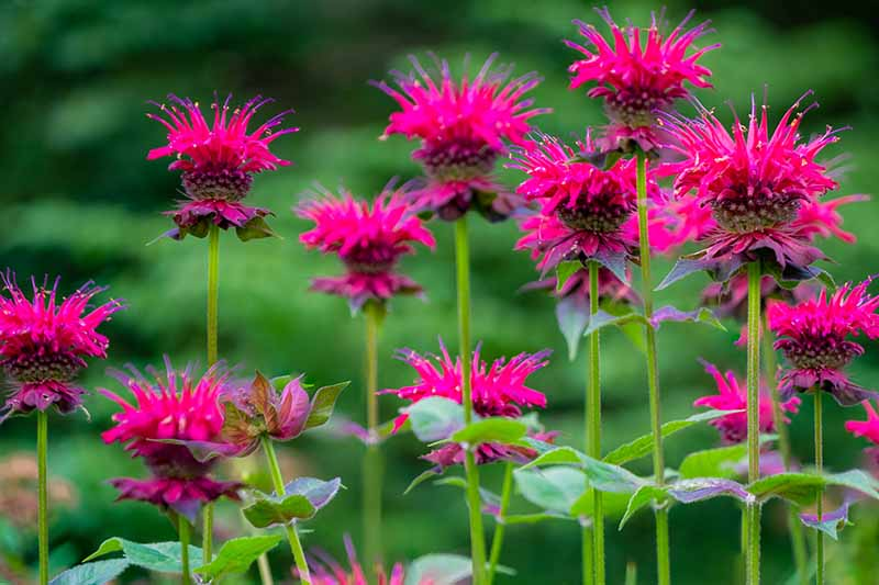 A close up of vivid pink bee balm flowers, the vibrant colors of the petals contrasting with the green stems on a soft focus green background.