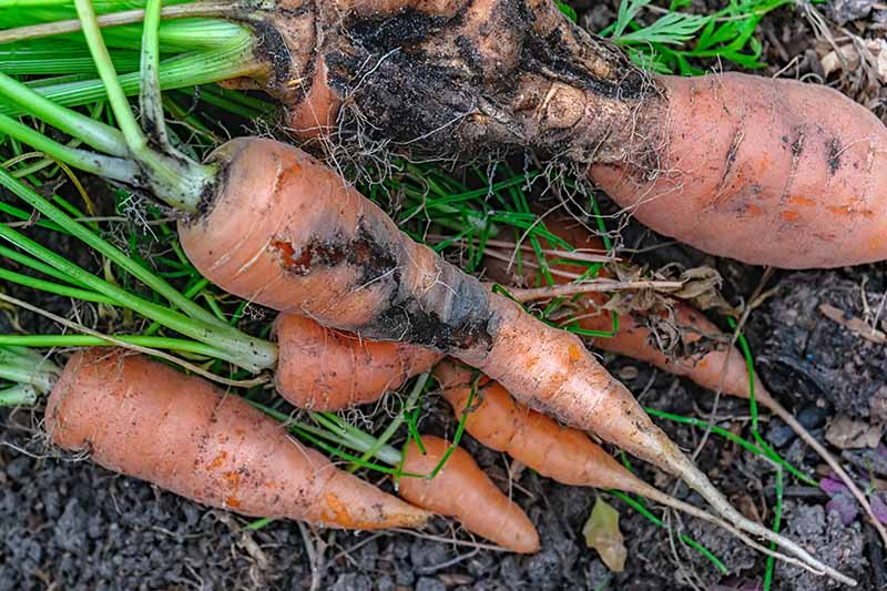 A close up of harvested carrots with black rot damage to the roots. The orange vegetable has gone dark and has lesions. The background is soil and green foliage.