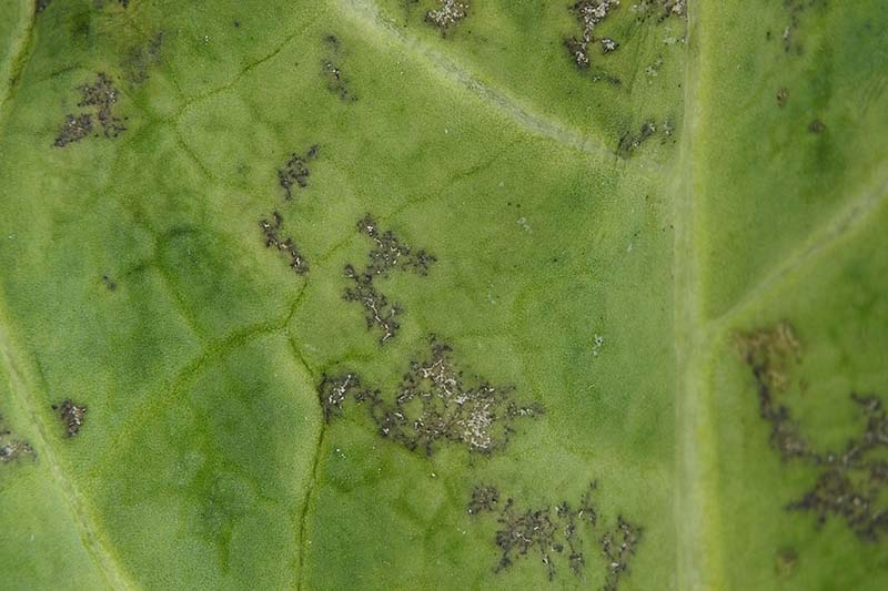 A close up of a green leaf with downy mildew. The light green is dotted with dark brown spots with white areas.