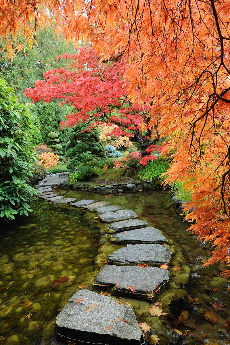 A vertical image of a stone pathway across a shallow pond, water either side of it. To the right of the frame and the top is a bright cascading plant with orange autumn leaves, behind it a tree with red leaves, contrasting with the green in the background and to the left.