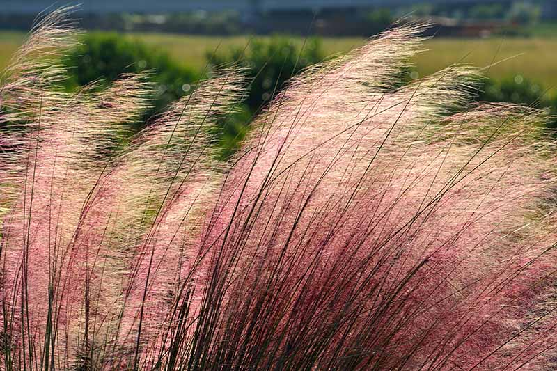 Ornamental grasses shown leaning towards the right of the frame in a light wind. The sun is reflected through the wispy ends, and the dark stems contrast against light pinks. The background is soft focus grass and shrubs.