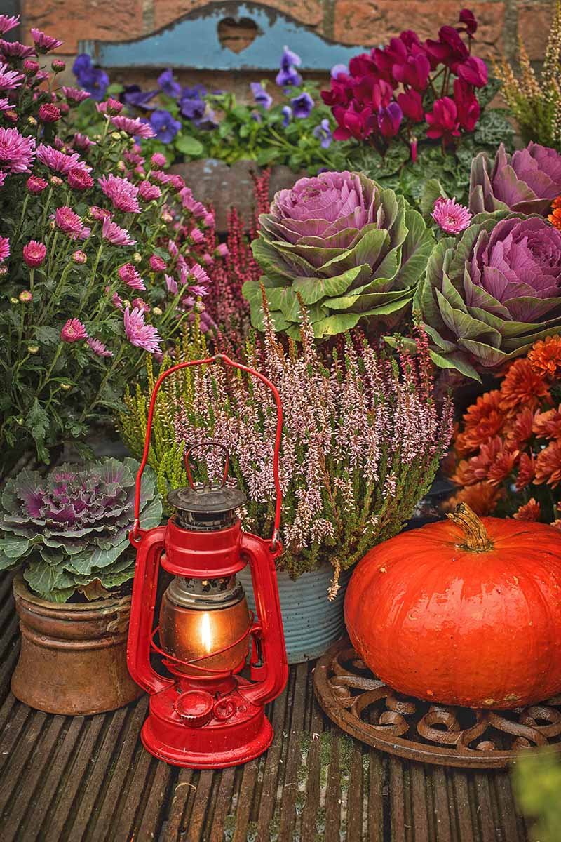 A collection of different colored plants, ornamental kales in purple and green, a bright red pumpkin, some red, pink and purple flowers, all arranged to create a colorful autumnal scene. In the foreground is a red paraffin lamp with a small glowing flame.