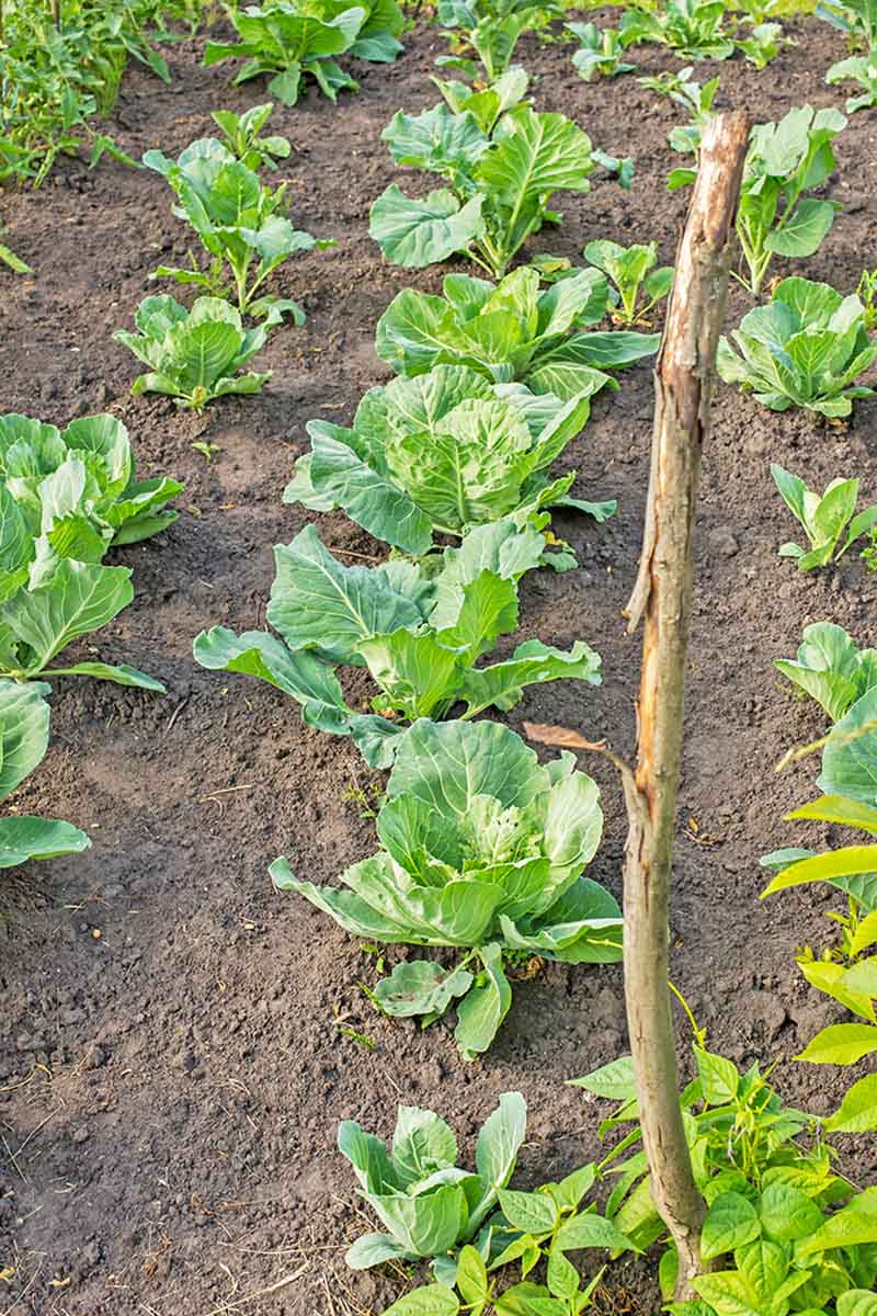 Rows of cabbages planted in an autumn vegetable garden, with soil in between and around them, in light sunshine.