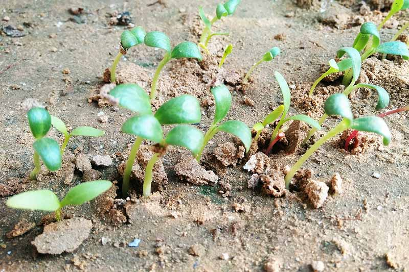 A close up of tiny fenugreek seedlings sprouting through the soil. Little green shoots on a light brown soil background in bright sunshine.