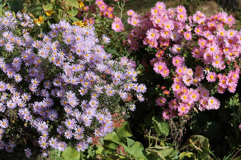 Two colorful aster bushes, in soft sunlight. To the left of the frame is a purple variety with bright orange centers, against green leaves in the background. To the right of the frame is a pink variety with orange centers and leaves behind.