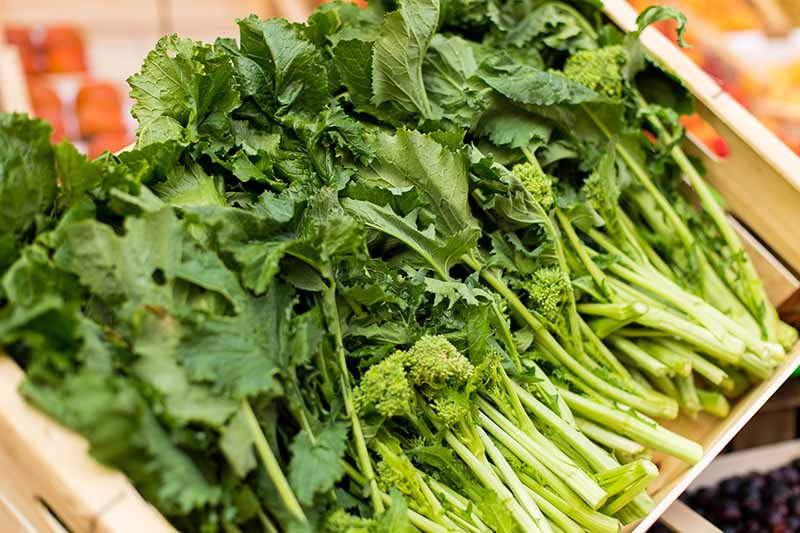 A close up of harvested and cleaned turnip greens in a wooden box. The foliage is dark with lighter stems and the background fades to soft focus, in bright light.
