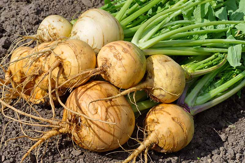 A close up of a bunch of freshly harvested turnips on soil in the sunshine. The roots are round and bulbous and the green stems and foliage are still attached.