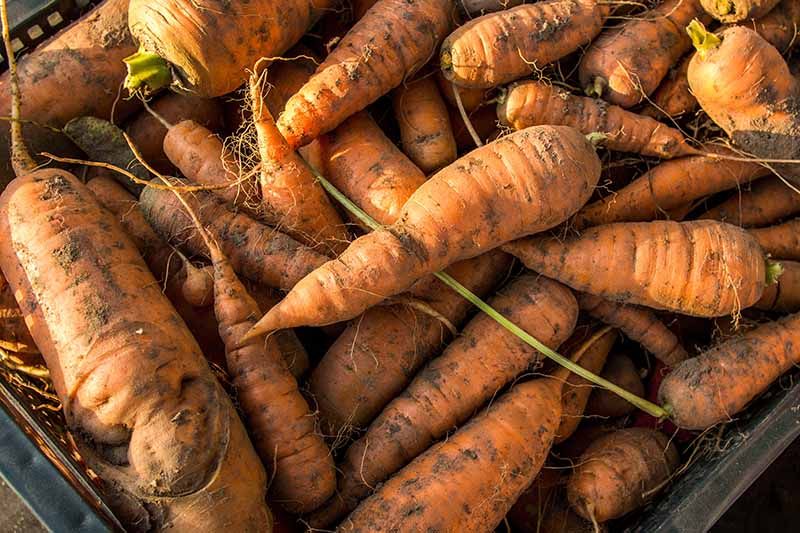 A close up of a plastic basket full of freshly harvested carrots, with green tops removed but soil still on the roots, in light sunshine.