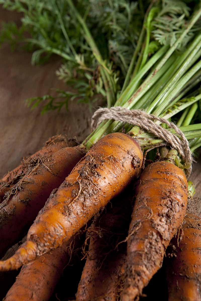 A vertical picture of freshly harvested carrots with soil still on the roots and the green foliage attached. A piece of string is tied lightly round the stems. The background is a wooden surface in soft focus.