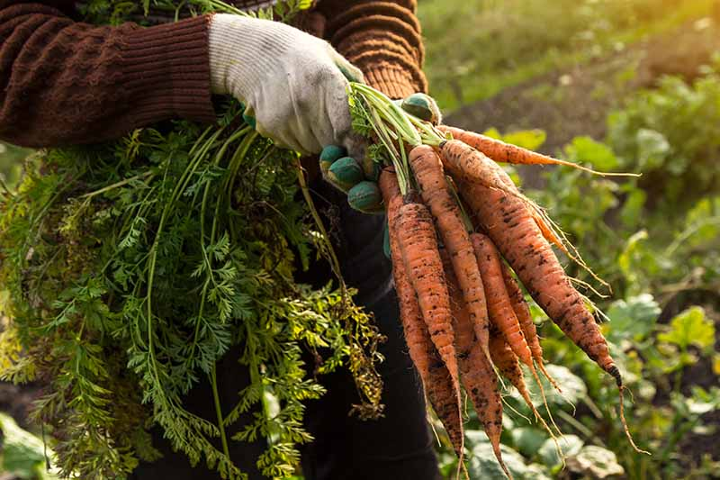 Two hands from the left of the frame, with white gloves holding a bunch of carrots by their green tops. The freshly dug vegetables still have soil attached. Light sunshine bathes the harvest and the background of soft focus vegetable garden.