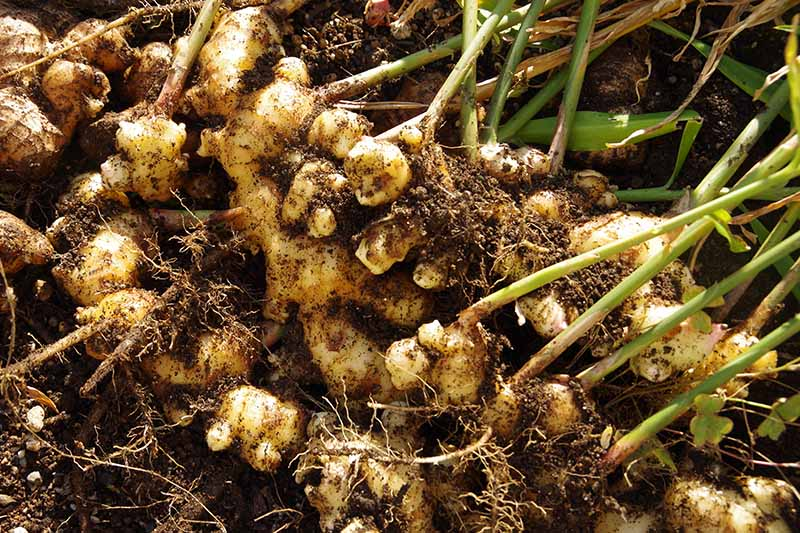 A close up of freshly harvested ginger rhizomes with soil and stems still attached. The background is soil in soft focus.