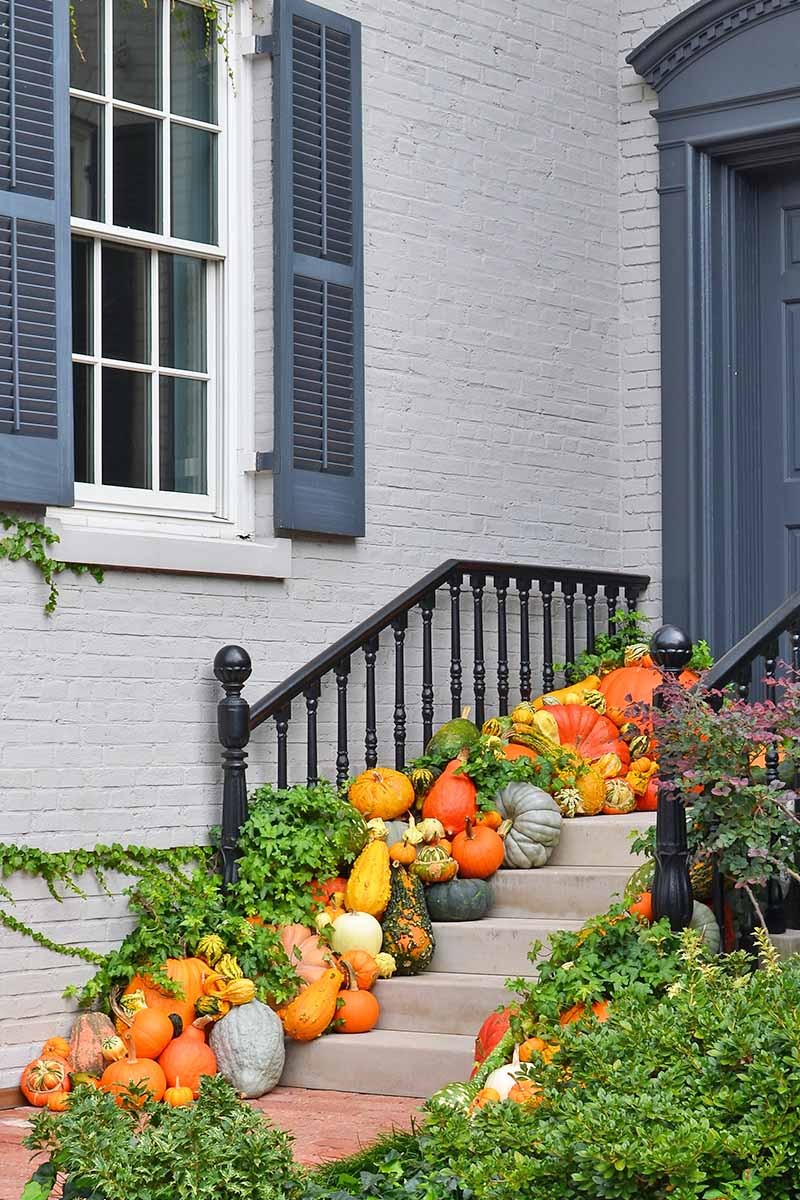 Concrete steps leading up to a dark gray front door, with a light gray brick wall in the background. On the steps are a magnificent display of different pumpkins, gourds, and winter squash of different shapes, sizes and colors. The autumnal scene is completed with trailing ivy and green shrubs to the right of the frame.