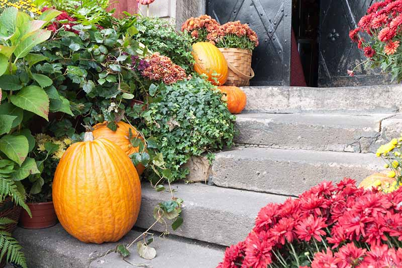 Concrete steps leading up to a black door, decorated with bright orange pumpkins. To the right of the frame is a plant with red flowers, to the left is green foliage.